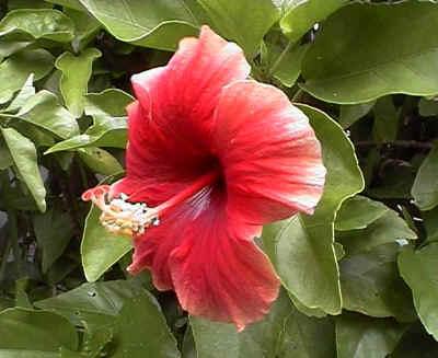 My Mum's Favorite Flower ~ Gumamela