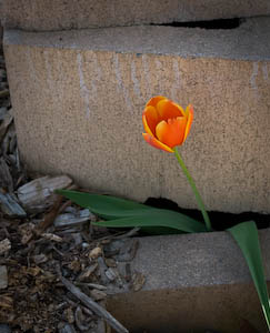 tulip-in-bricks