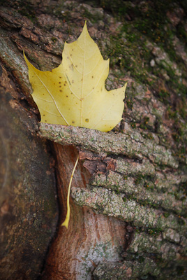 Yellow leaf held by bark
